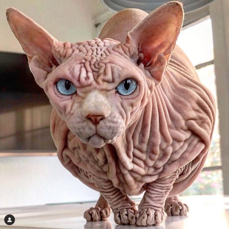 Xherdan-the-naked-cat-Instagram-Foto